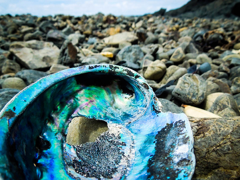 close up image of a brightly colored Paua or oyster shell on a rocky beach, with ocean in the background. Taken on the Coromandel Peninsula in New Zealand